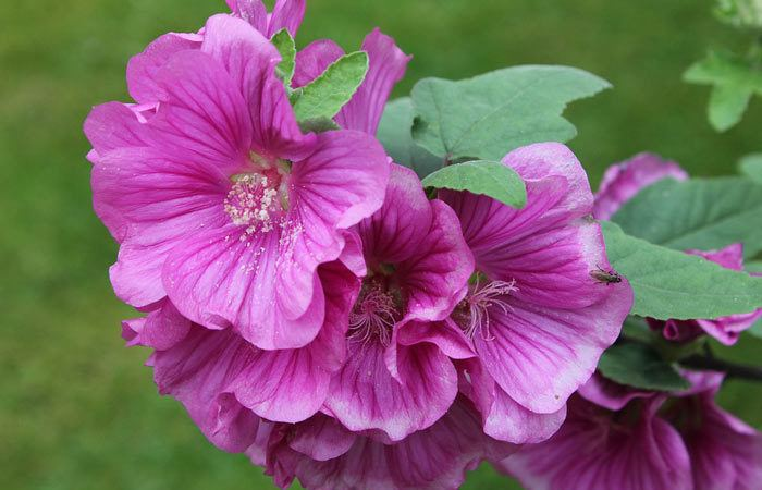 LAVATERA - Treemallow (Annual-mallow), Annual Flower Information