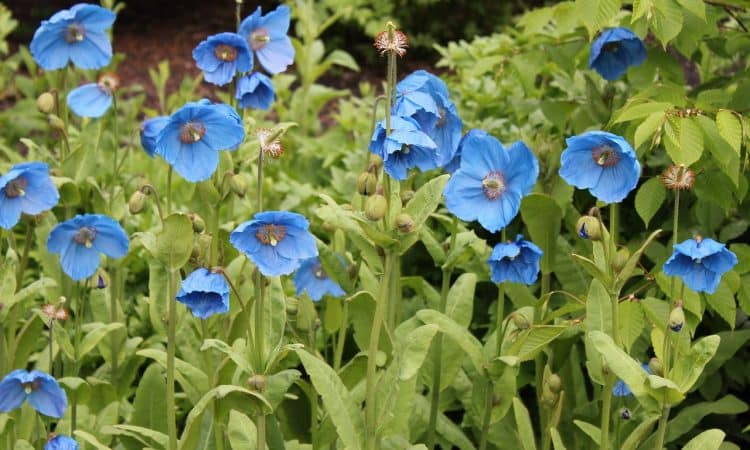 Meconopsis - Perennial Plant, How to grow