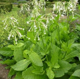 NICOTIANA  Flowering Tobacco, Annual Flower Information