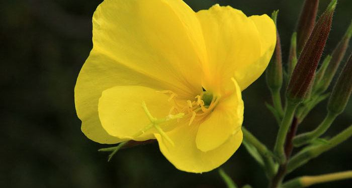 OENOTHERA   Evening primrose, Sundrops, Annual Flower Information
