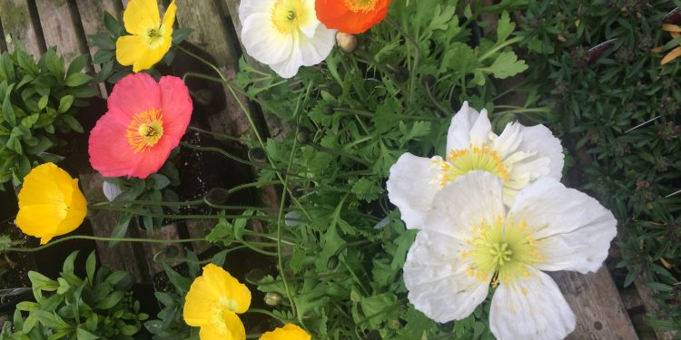 Papaver - Oriental Poppy, Iceland Poppy, Perennials Guide to Planting Flowers