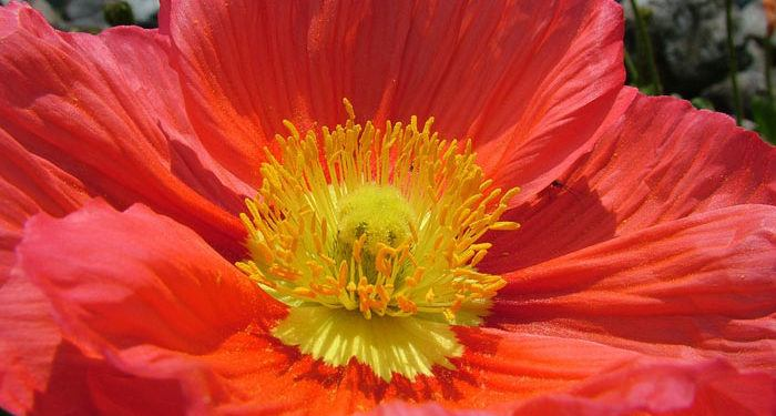 PAPAVER  Poppy, Annual Flower Information