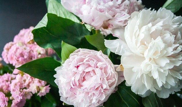 Peony, Perennials Guide to Planting Flowers