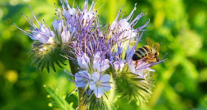 PHACELIA, Annual Flower Information