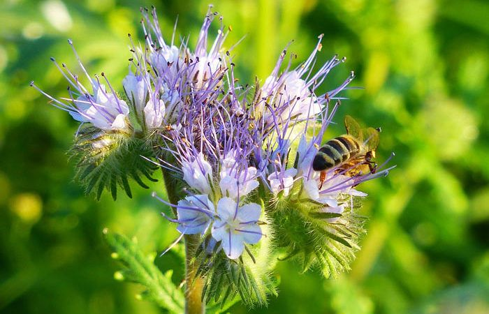 PHACELIA, Annual Flower Information