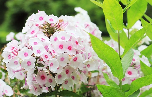 Phlox - Hardy Phlox, Flame Flower, Moss Pink, Wild Sweet William, Perennials Guide to Planting Flowers