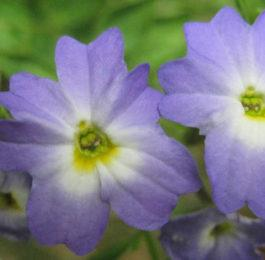 Plant care for Browallia (Amethyst), Annual Flower Information