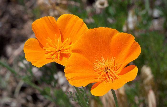 Plant care for California-poppy, Annual Flower Information