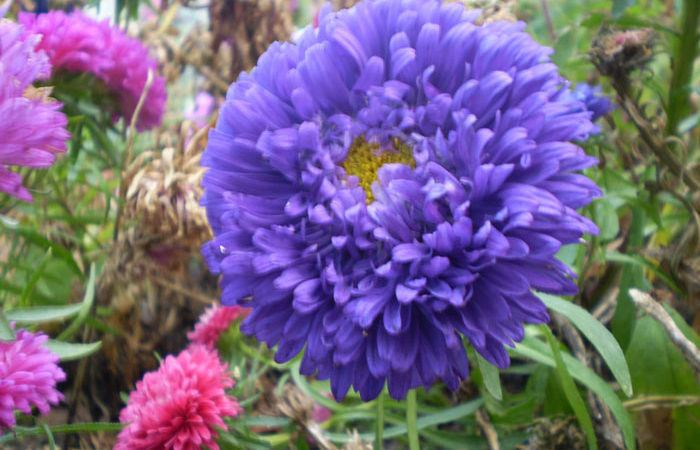 Plant care for Callistephus China-aster, Annual Flower Information