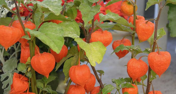 Plant care for Chinese Lantern plant PHYSALIS