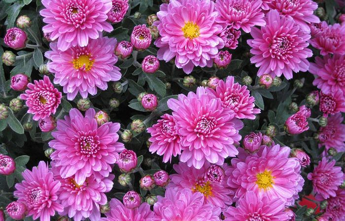Plant care for Chrysanthemum annual, Annual Flower Information