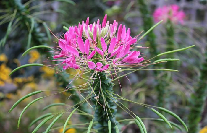 Plant care for Cleome  Spiderflower, Annual Flower Information