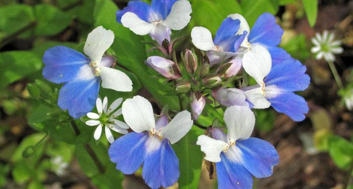 Plant care for COLLINSIA (Blue-eyed-Mary) (Innocence), Annual Flower Information