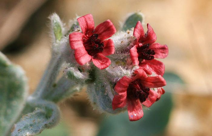 Plant care for CYNOGLOSSUM Houndstongue, Annual Flower Information