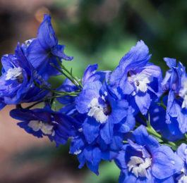 Plant care for Delphinium Larkspur, Annual Flower Information