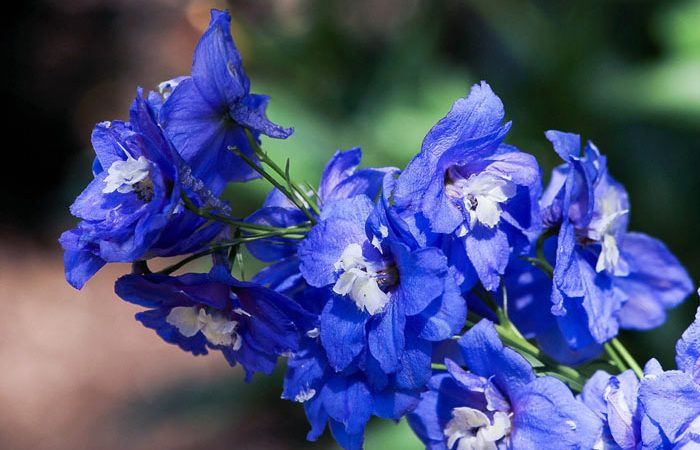 Plant care for Delphinium Larkspur, Annual Flower Information