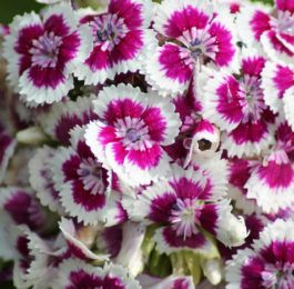 Plant care for Dianthus, Carnation, Annual Flower Information