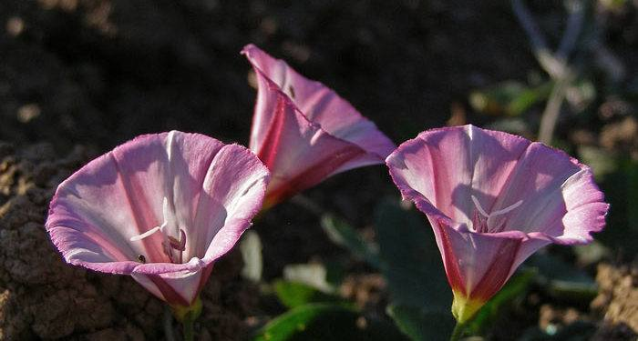 Plant care for Dwarf Morning Glory -Convolvulus, Annual Flower Information