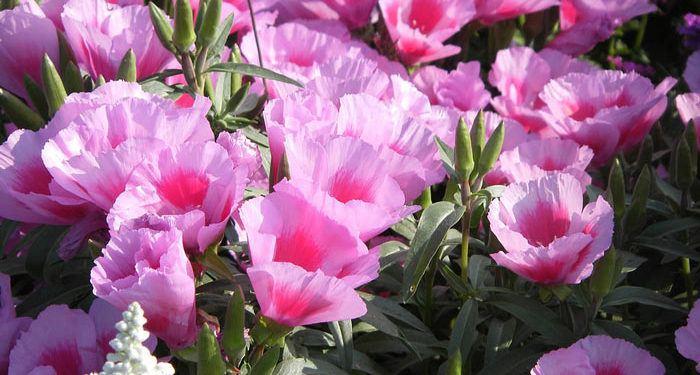 Plant care for Godetia   Satin flower, Annual Flower Information