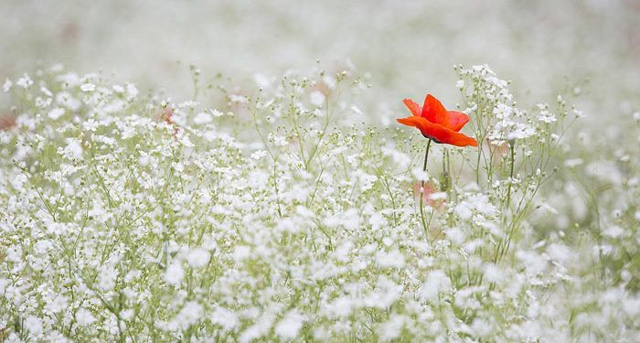 Plant care for GYPSOPHILA  Babysbreath, Annual Flower Information