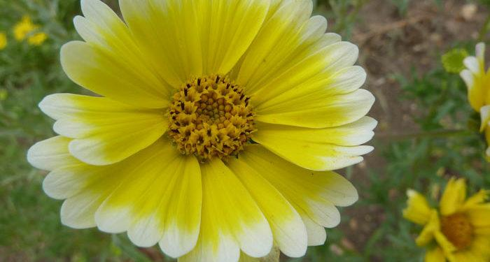 Plant care for Layia - Tidytips, Annual Flower Information