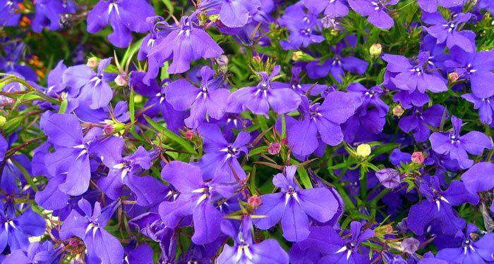 Plant care for Lobelia, Annual Flower Information