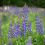 Plant care for Lupines,  Annual Flower Information
