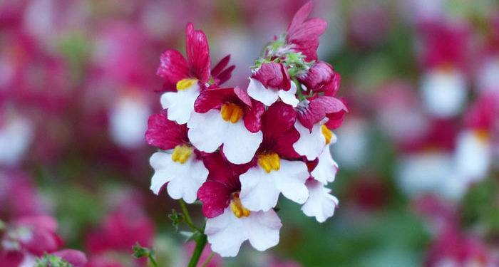 Plant care for Nemesia, Annual Flower Information