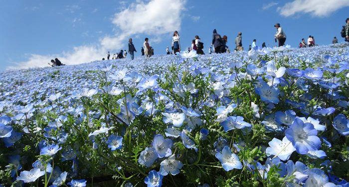Plant care for Nemophila, California-bluebell, Annual Flower Information