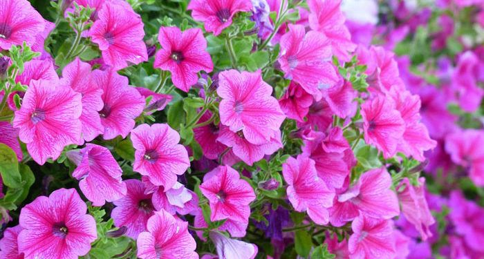 Plant care for Petunia, Annual Flower Information