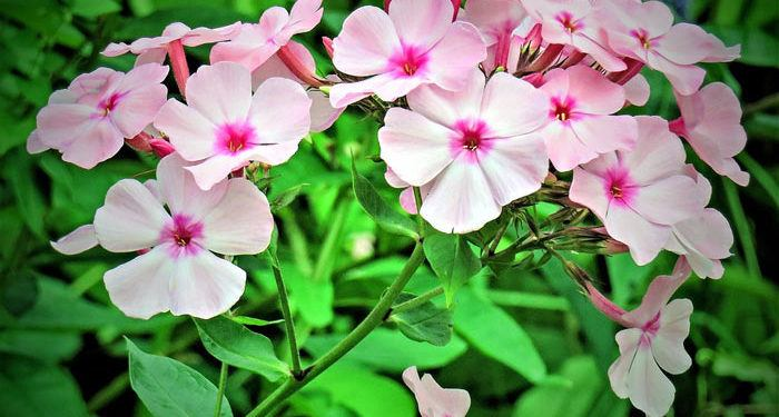 Plant care for PHLOX  Texas pride, Annual Flower Information
