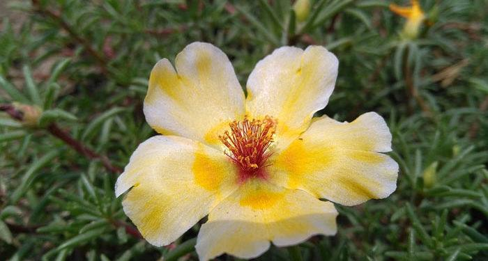Plant care for PORTULACA  (Rosemoss) (Sunplant) (Seven-sisters), Annual Flower Information