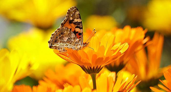 Plant care for Pot Marigold, Calendula, Annual Flower Information