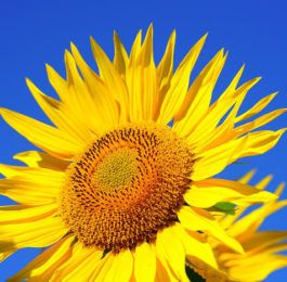 Plant care for Sunflower - HELIANTHUS, Annual Flower Information
