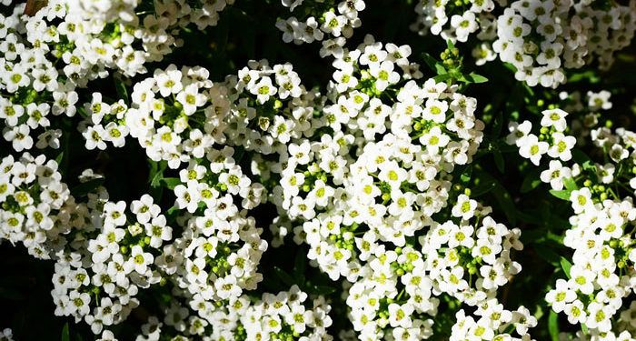 Plant care for Sweet Alyssum, Annual Flower