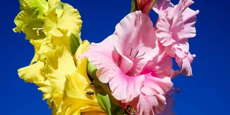 Planting Care on Gladiolus