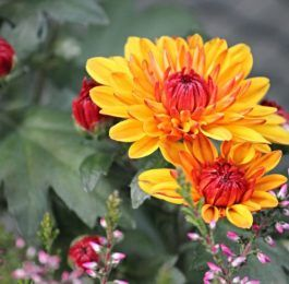 Planting Colorful Chrysanthemums for Your Garden