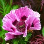 How to grow a poppy