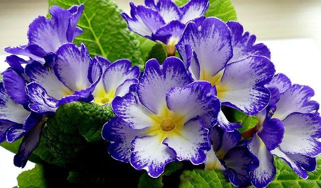Primula - Primrose,  Perennials Guide to Planting Flowers