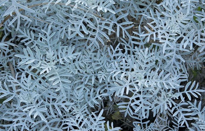 Purple Ragwort - SENECIO (Jacobaea) Purple Groundsel, Annual Flower Information