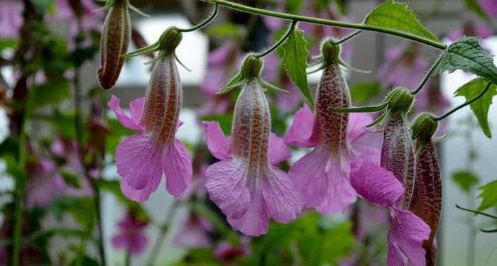 REHMANNIA, Annual Flower Information