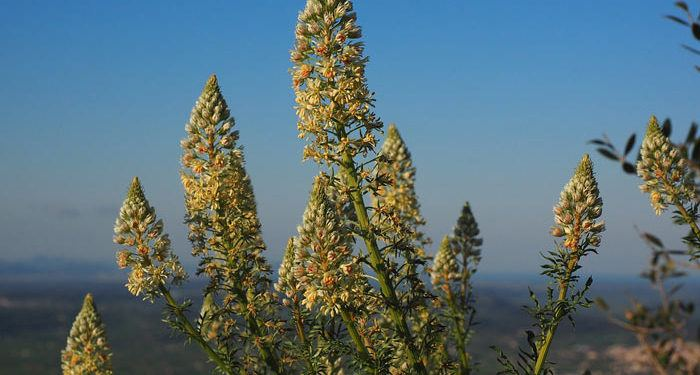 RESEDA Mignonette, Annual Flower Information