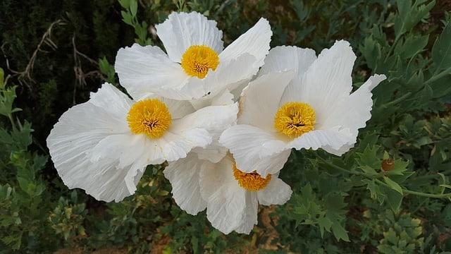 Romneya - Matilija Poppy, Perennials Guide to Planting Flowers