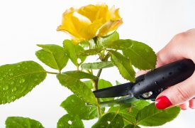 Pruning a Rose - Types of Pruning