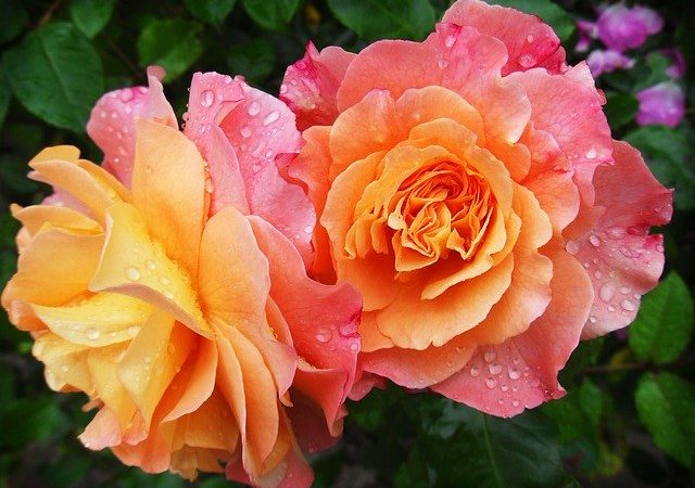 rose heat and drought