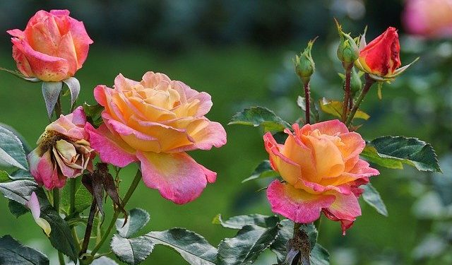 how to plant and care a rose garden