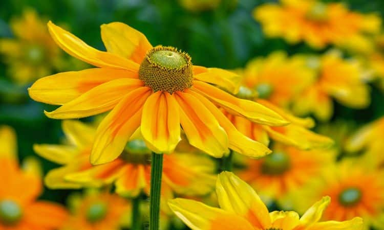 Rudbeckia - Cone Flower, Golden Glow,  Black Eyed Susan, Perennials Guide to Planting Flowers