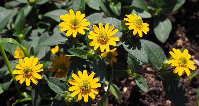 SANVITALIA, Annual Flower Information