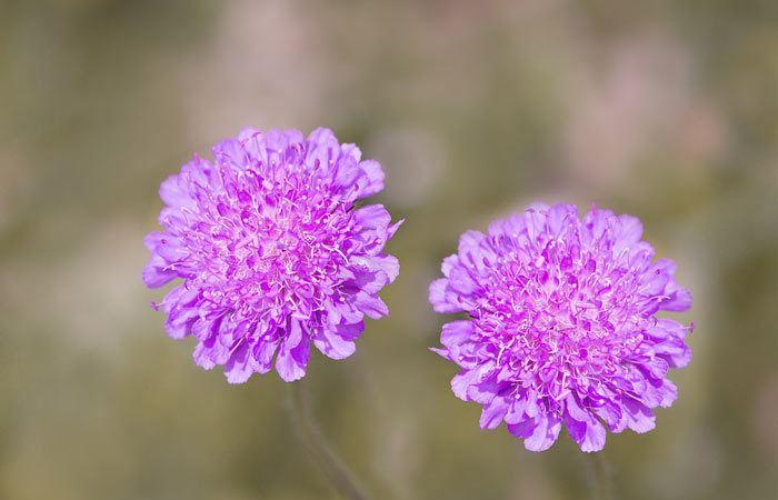 Scabiosa - Annual Flowers