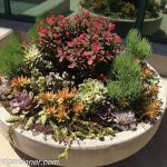 Growing and care for sedum